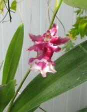 "Oncidium Heaven Scent 'Rainbow' Orchid - Live Plant - 4"" Pot"