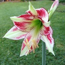 "Hippeastrum ""Devil Hunter"" Green Red Flower -- 1 year old offset bulb (Japanese)"