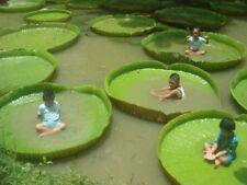 5 fresh Seeds Victoria Amazonica Giant Waterlily Rare Giant Lotus Aquatic Plant