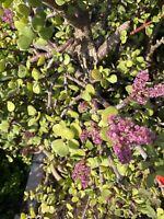 RARE Portulacaria Afra Elephant Bush Succulent 3 Organic Cuttings