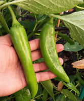 Big Jim Chilli - The Largest Chilli Pods You will Ever Grow - OZ Grown Seeds!!!