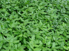 Wintercreeper Euonymus 108 Ground Cover Plants in 2-1/2 inch Pots