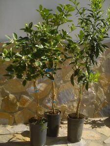 Zitronenbaum 1 + 1 Orangenbaum + 1 Mandarinenbaum (3 Pack) schoen gewachsen