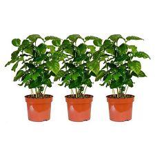 3 Pflanzen Coffea arabica , circa 30 cm +/- Kaffeepflanze, Zimmerpflanze !!!