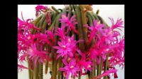 "4 Cuttings 3"" Rat Tail Cactus Aporocactus Flagelliform RARE Succulent Plant Pink"