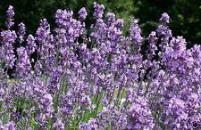 Samen Saatgut exotische winterharte Pflanzen für den Garten  DUFTLAVENDEL