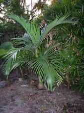 Archontophoenix alexandrae - King Palm - 10  Seeds