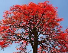 ILLAWARRA FLAME TREE Brachychiton acerifolius red flowers plant in 140mm pot