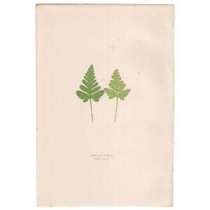 Lowe Exotic Ferns antique 1872 botanical print, Pl 25 Davallia Pedata
