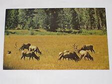 VINTAGE A Wyoming Elk Herd Postcard Wyoming Elk Antlers Forest Hunting