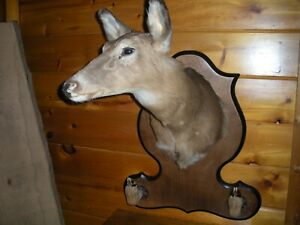 Vintage Large Mature White Tail Taxidermy Shoulder Mount