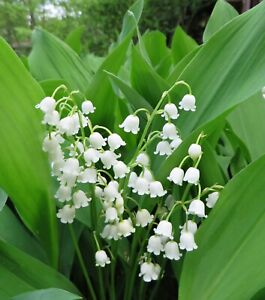 10+ Lily Of The Valley Plant Roots Pips Deer Resistant Perennial Hardy from Conn