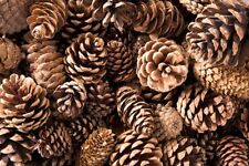 Large box of pine cones, opened and ready for projects. (UNBAKED)
