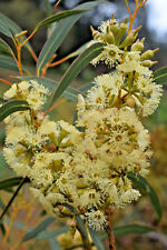 Eucalyptus socialis ssp viridans (Gum Tree) in 50mm forestry tube native plant