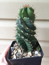 "Cereus peruvianus spiralis Plant 6"" Rooting Pod Not for CA!"