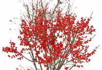 Ilex Verticillata Berry Poppins Winterberry Holly Live Plant Broadleaf Evergreen