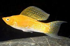 10 (ten) x Assorted Lyretail Sailfin Mollies (Poecilia velifera, Livebearer)