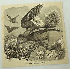 1881 magazine engraving ~ BLUE JAY TENDING TO EGGS IN NEST