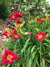 Daylily Red Volunteer Reblooming bright red perennial ~ Df or 2 Plants
