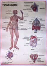 Lymphatic System Human Physiology Laminated Licensed Anatomy Chart