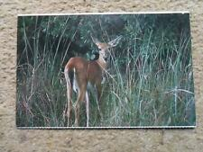 .POSTCARD.WHITE-TAILED DEER.EVERGLADES N.P. FLORIDA. POSTED 21cSTAMP