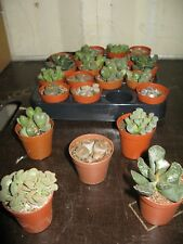 3 x Mixed succ/ Lithops (Living Stones) 5.5 cm pots