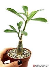 Adenium obesum cv. Fire cracker Ø10cm - GIROMAGI Cactus & Succulent plants