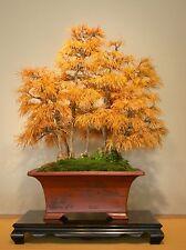 300 Graines Pseudolarix amabilis (golden larch) tree seeds