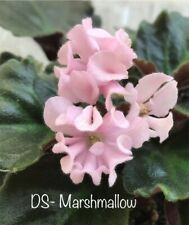 African Violet Rus/Ukr * Ds- Marshmallow* (Sm) , Cool plant in bloom! new