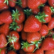 Strawberries Freeze Dried Fruit #10 Can Long Shelf Life Food Emergency Survival