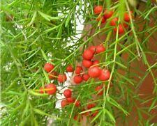 Lucid Asparagus 10+ Seeds, Cochinchinensis Radix Asparagi Herbal E012