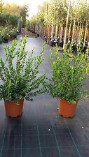 PIANTA DI MIRTO COMUNE vaso 24 a  bacca  viola altezza 70 cm ( foto reali)