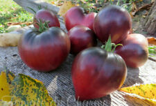 5+ graines de tomate rare Sgt PEPPER'S attrayante antho heirloom tomato méth.bio