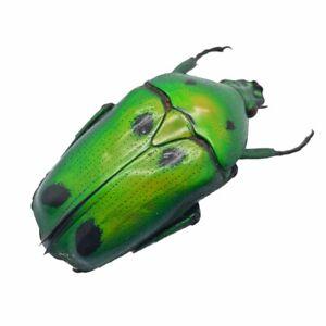 Green Scarab Beetle (Heterorrhina sexmaculata) Insect Collector Specimen Art