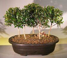 "5 Australian Brush Cherry Bonsai Tree Forest Group Eugenia Myrtifolia 7yo 8""tall"