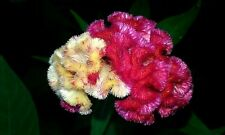 Marble Brain Celosia Seeds Red/Yellow 50 Seeds 3-4 ft. tall Comb. S/H