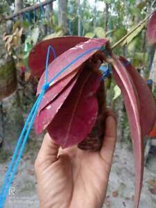 Special Wholesale 10 Hoya Plant Red Mitrata DHL EXPRESS Shipping !
