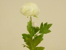 Cream Ranunculus With Bud Silk Flowers Pack 12 Stems