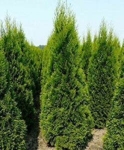 5X LARGE THUJA SMARAGD CEDAR HEDGING TREES - SUPERB EVERGREEN - 60cm+ 2L