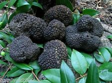 20 g Seeds Spores Dry infected of Truffle Black Garden Mushrooms fungus