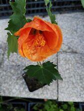 5 PZ Pianta di Abutilon sempreverde Cespuglio arredo giardino vaso 7
