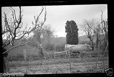 Portrait homme laboure champ avec boeufs - ancien négatif photo an. 1940