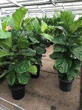 Large Fiddle Leaf Figs Ficus Lyratas, indoor plant 1.1m-1.3m Indoor Garden Plant