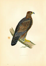 1870 Hand Colored Print of a GOLDEN EAGLE - Beautiful