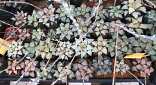 Succulent -  Haworthia picta MIXED, 10 fresh seeds 2019