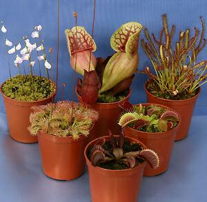 6 CARNIVOROUS PLANT COLLECTION: Venus fly trap; 2x Drosera; 2x Sarracenia; Utric