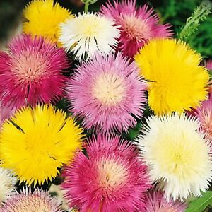 Sweetsultan Imperial Mix - Centaurea moschata - Annual Flower Seeds