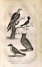 Swallow Tailed Falcon-Butcher Bird-Horned Owl-Shrike - 1830 Goldsmith Engraving