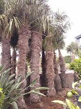 Winterharte Palme Trachycarpus Fortunei Stamm 220 - 240cm
