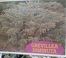 Grevillea diminuta in 75mm supergro tube  native plant